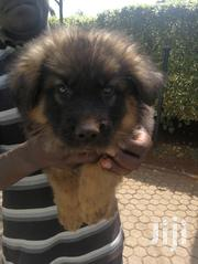 Young Male Purebred German Shepherd Dog | Dogs & Puppies for sale in Nairobi, Karen