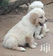 Baby Female Purebred Golden Retriever | Dogs & Puppies for sale in Nairobi, Karura