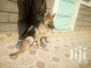 Young Male Purebred German Shepherd Dog | Dogs & Puppies for sale in Nairobi, Kahawa