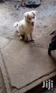 Young Female Mixed Breed Fox Terrier | Dogs & Puppies for sale in Nairobi, Kayole Central