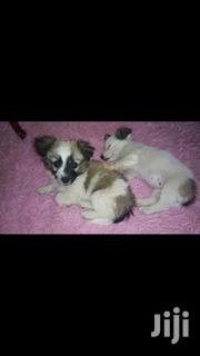 Young Male Purebred Chihuahua | Dogs & Puppies for sale in Nairobi, Kahawa
