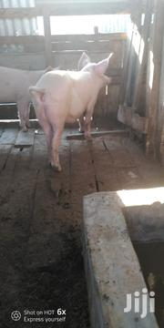 Mature Pig | Other Animals for sale in Nairobi, Ruai