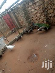 Peacocks For Sale | Birds for sale in Kilifi, Tezo