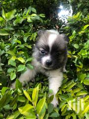 Young Male Purebred Maltese   Dogs & Puppies for sale in Nairobi, Kahawa