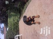 Baby Female Purebred Rottweiler | Dogs & Puppies for sale in Kiambu, Kinoo
