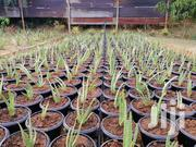 Aloe Vera Potted Plants And Flowers | Feeds, Supplements & Seeds for sale in Nairobi, Karen