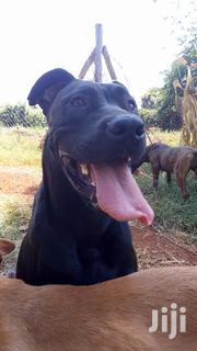 Baby Male Purebred Boerboel | Dogs & Puppies for sale in Nairobi, Karura