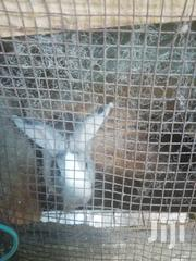 Rabbits For Sale | Other Animals for sale in Mombasa, Bamburi