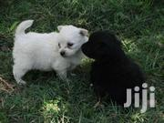 Black And White Japanese Spitz | Dogs & Puppies for sale in Nairobi, Karen