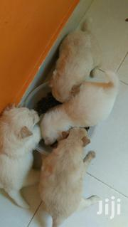 Baby Male Mixed Breed Japanese Spitz   Dogs & Puppies for sale in Mombasa, Bamburi
