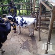 Heifers For Sale   Livestock & Poultry for sale in Nyeri, Mukurwe-Ini West
