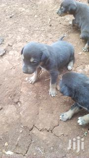 Baby Male Mixed Breed Mongrel (No Breed) | Dogs & Puppies for sale in Nairobi, Nairobi Central
