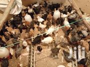 3days Old Chicks | Livestock & Poultry for sale in Kiambu, Ngoliba