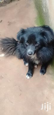 Young Male Mixed Breed Japanese Spitz | Dogs & Puppies for sale in Kiambu, Township C