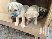 Young Male Purebred Boerboel | Dogs & Puppies for sale in Kiambu, Kabete