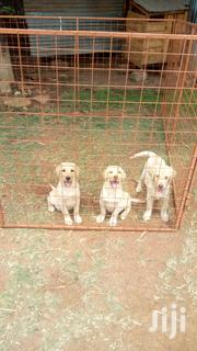 Baby Male Purebred Labrador Retriever | Dogs & Puppies for sale in Nairobi, Nairobi Central