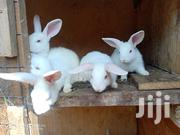 Rabbits For Sale | Livestock & Poultry for sale in Nairobi, Baba Dogo