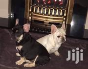 Young Female Purebred French Bulldog | Dogs & Puppies for sale in Nairobi, Nairobi Central