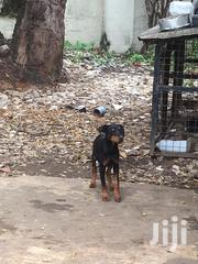 Young Female Purebred Rottweiler | Dogs & Puppies for sale in Mombasa, Mkomani