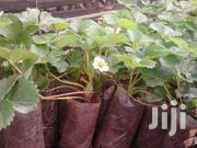 Strawberries Seedlings Potted | Feeds, Supplements & Seeds for sale in Nairobi, Nairobi Central