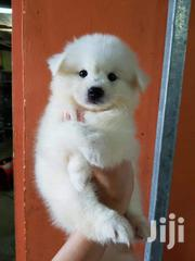 Young Female Purebred Japanese Spitz | Dogs & Puppies for sale in Nairobi, Nairobi Central