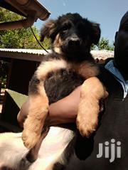 Baby Male Mixed Breed German Shepherd Dog | Dogs & Puppies for sale in Siaya, East Gem