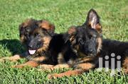 Young Female Purebred German Shepherd Dog | Dogs & Puppies for sale in Kiambu, Limuru Central