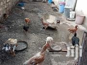 Pure Kuchi And Booted Bantams | Livestock & Poultry for sale in Mombasa, Shimanzi/Ganjoni