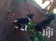 Baby Female Mixed Breed | Dogs & Puppies for sale in Uasin Gishu, Kapsoya