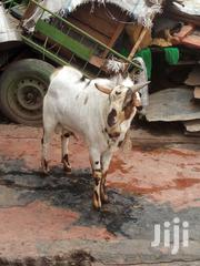 Affordable Goats As Well They Are Healthy | Other Animals for sale in Nairobi, Imara Daima
