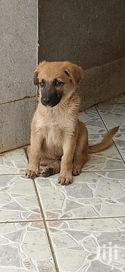 Baby Male Mixed Breed Golden Retriever   Dogs & Puppies for sale in Machakos, Athi River