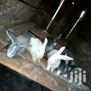 African Rabbits | Livestock & Poultry for sale in Kirinyaga, Wamumu