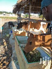 Dairy Cows | Livestock & Poultry for sale in Mombasa, Mji Wa Kale/Makadara