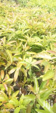 Grafted Hass Avocado | Feeds, Supplements & Seeds for sale in Nairobi, Mwiki