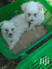 Young Male Purebred Japanese Spitz | Dogs & Puppies for sale in Nairobi, Nairobi Central