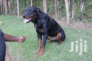 Rottweiler Dog | Dogs & Puppies for sale in Machakos, Kathiani Central