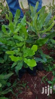 Grafted Macadamia Seedlings | Feeds, Supplements & Seeds for sale in Nairobi, Nairobi Central