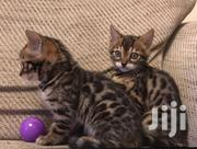 Young Female Purebred Bengal Cats | Cats & Kittens for sale in Bomet, Silibwet Township