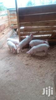 Camborough Piglets | Livestock & Poultry for sale in Murang'a, Mugoiri