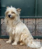 Adult Male Mixed Breed Japanese Spitz | Dogs & Puppies for sale in Nairobi, Kasarani