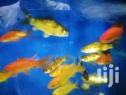 Assorted Goldfish | Fish for sale in Nairobi, Nairobi Central