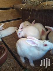 Newzealand Breeder Rabbits White | Other Animals for sale in Nairobi, Ruai