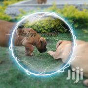 Senior Male Purebred Boerboel   Dogs & Puppies for sale in Machakos, Athi River