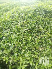 Nyeri Mathira 2 Acres Tea Land | Land & Plots For Sale for sale in Nyeri, Kamakwa/Mukaro