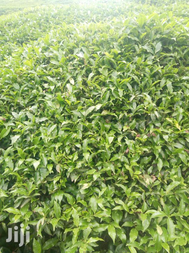 Nyeri Mathira 2 Acres Tea Land