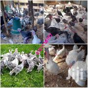 Turkey Bata Mzanga Kulukulu | Livestock & Poultry for sale in Kiambu, Gitaru