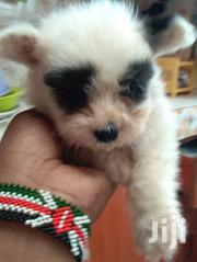 Baby Male Purebred Maltese | Dogs & Puppies for sale in Mombasa, Bamburi
