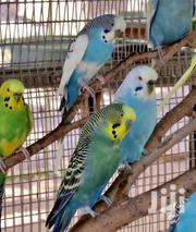 Healthy And Playful Budgies | Birds for sale in Mombasa, Bamburi