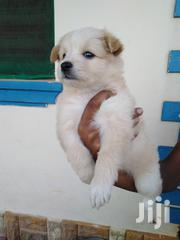 Baby Female Mixed Breed Maltese | Dogs & Puppies for sale in Mombasa, Bamburi