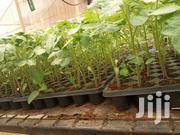 Cal J Tomato Seedlings | Feeds, Supplements & Seeds for sale in Kiambu, Juja